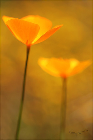 Champagne Glass Poppies, Merced River Canyon, Yosemite