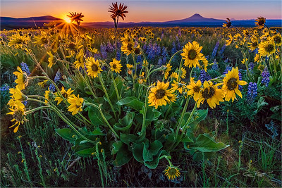 Wildflowers and Sunstar, Mt. Adams, Columbia River Gorge