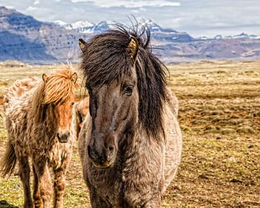 Curious Icelandic Horses