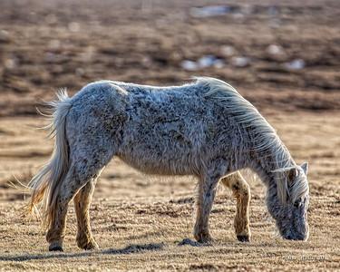 Twilight Icelandic Horse