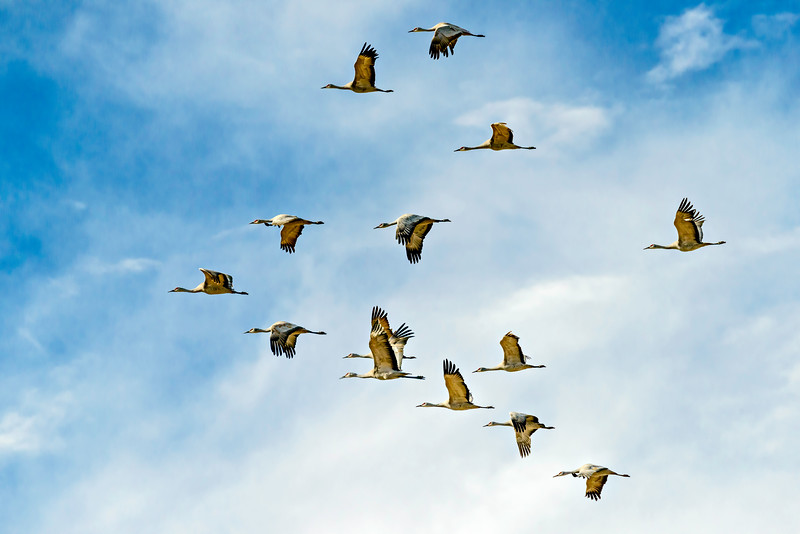 Cranes_Formation_Flying-CranesNE_2014Mar20_6459