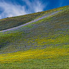 Gorman_Wildflowers_Stripes_2014Apr30_0022