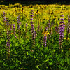 BacklitLupines-TuolomneMeadows_0259_DxO