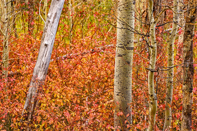 Aspen_Trunks-Sierra_Fall_2015Oct20_0496