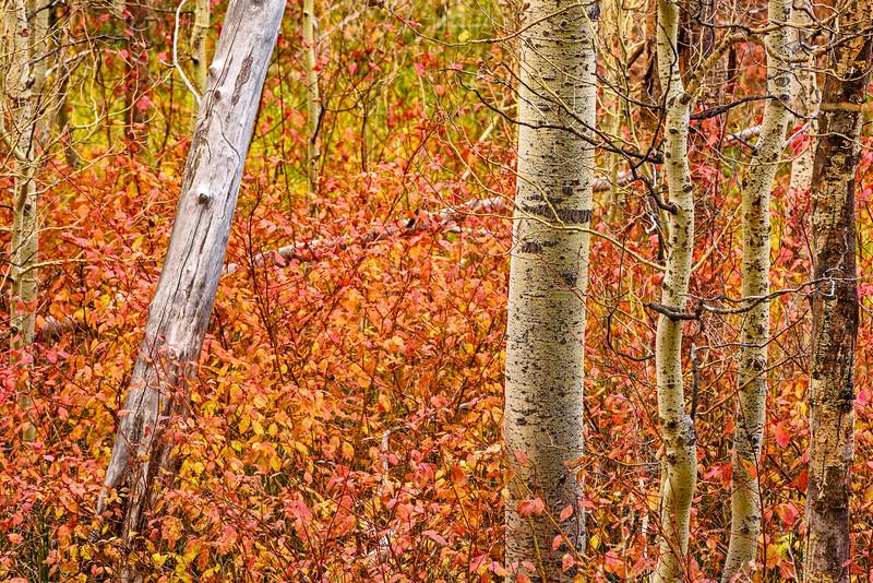 Aspen_Trunks-Sierra_Fall_2015Oct20_0496