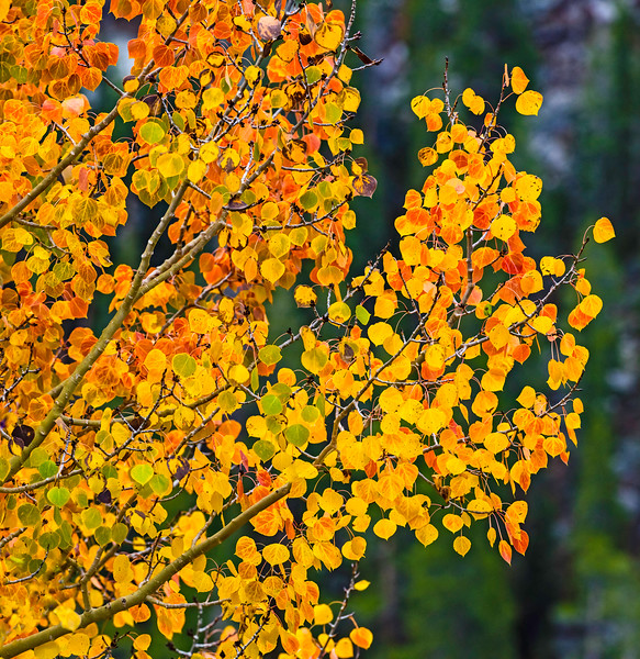 Aspen-Color-Fantasy-CU-Sierra_Fall_2015Oct20_0245
