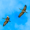 Flying_Mated_Pair-CranesNE_2014Mar20_6578
