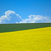 Colfax Mustard Field
