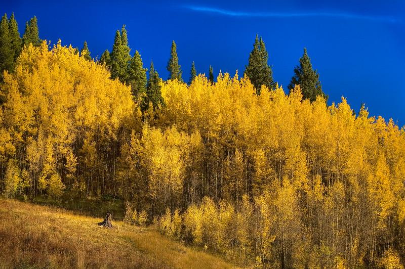 Boreas Pass Aspen Grove