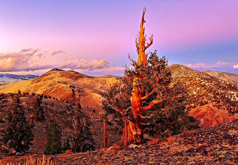 Bristlecon Pine Sunset Fantasy