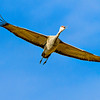 Crane_In_Flight-CranesNE_2014Mar20_6008