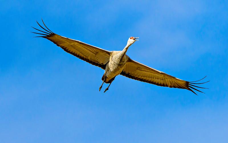 Crane_In_Flight-CranesNE_2014Mar20_6008