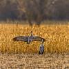Impressing Lady Cranes-NE_Mar182014_0961