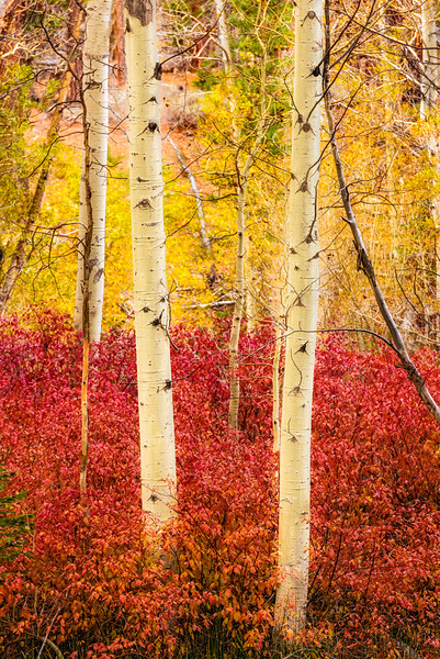 Aspen_Trunks_Vertical-Sierra_Fall_2015Oct20_0505