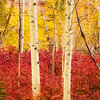 Aspen_Trunks_Vertical-Sierra_Fall_2015Oct20_0505