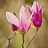 Descanso Magnolia Blossoms