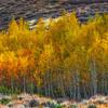Aspen-Stand-Sidelit-Sierra_Fall_2015Oct20_0431