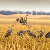 Jump For Joy-CranesNE_2014Mar19_2761