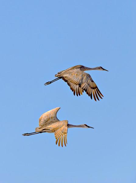 Crane_Pair_In_Flight-CranesNE_Mar192014_1484