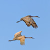 Crane_Pair_In_Flight-CranesNE_Mar192014_1484