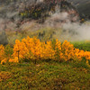 Aspen in clearing fog