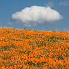 Antelopre Valley Poppy fields Vertical Stacked Focus