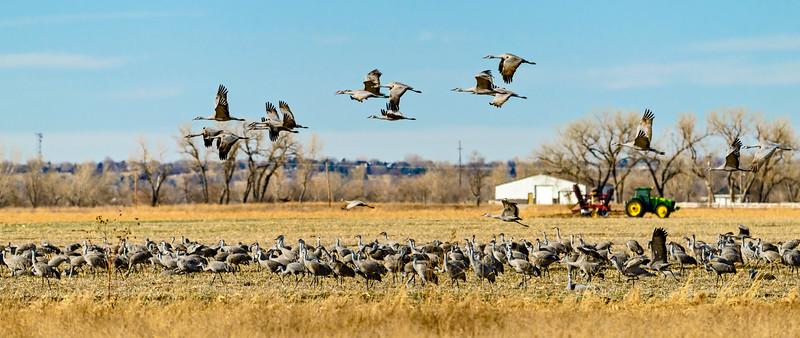 Crane_Gathering_Over_Field-CranesNE_2014Mar20_5607