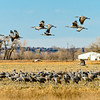 Crane_Gathering_Over_Field-CranesNE_2014Mar20_5607