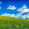 Colfax Rapeseed Field_061313_0008