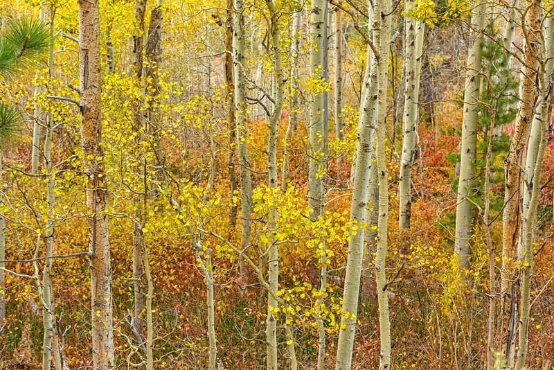 Aspen_Stand-Sierra_Fall_2015Oct20_0480