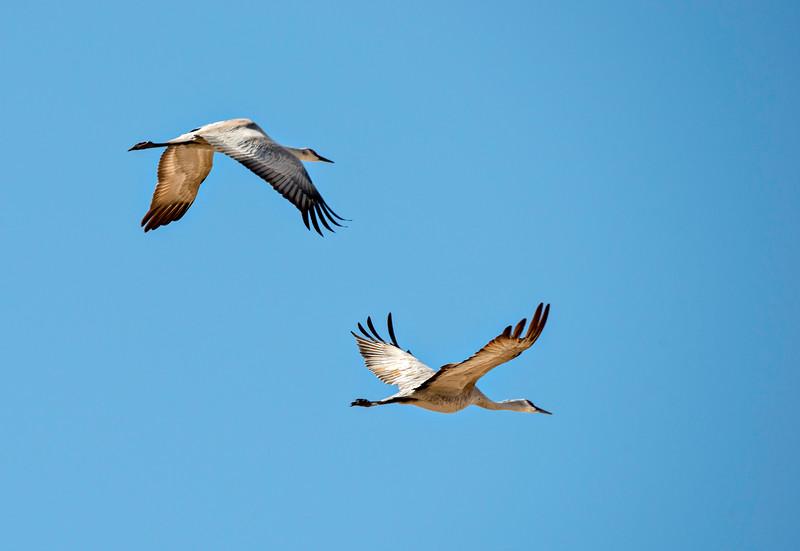 Cranes_From_Below-CranesNE_2014Mar20_5134
