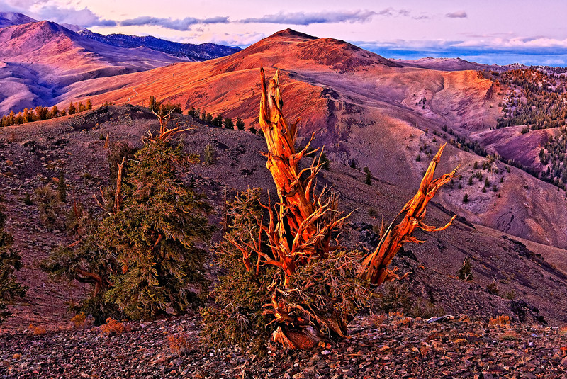 Bristlecone Pine Purple Sunset