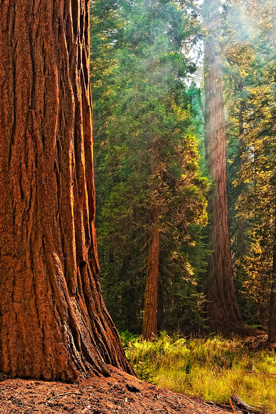 Hazy Sequoia Dawn Light