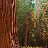 Hazy Sequoia Dawn Light