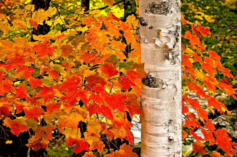 Birch&FallColor_NH_LDG5804