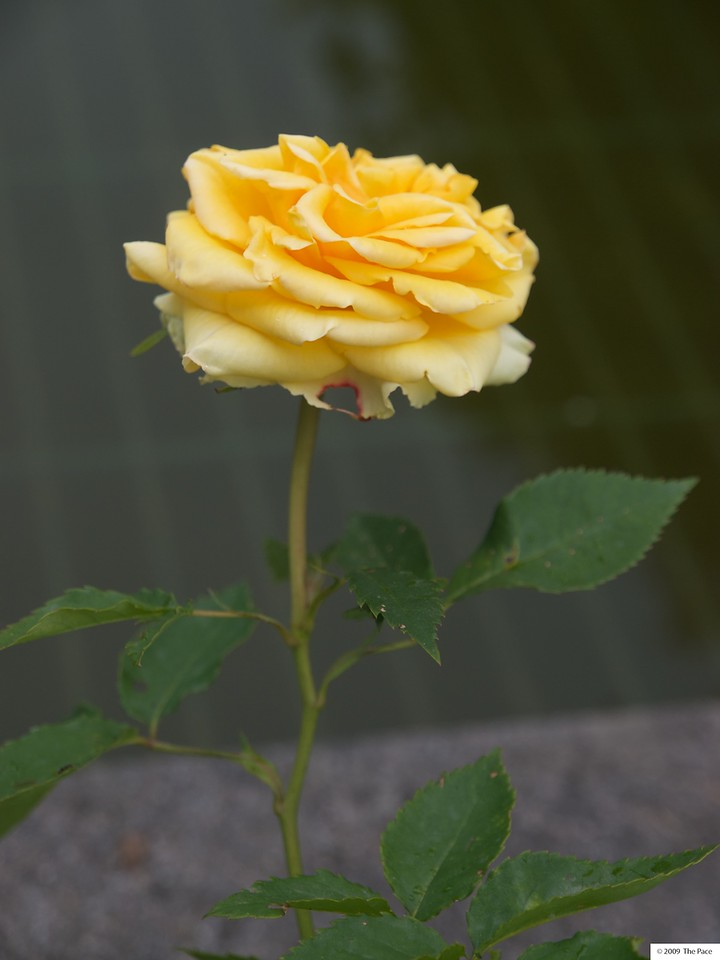 Week 24 - I loved the colour of this rose