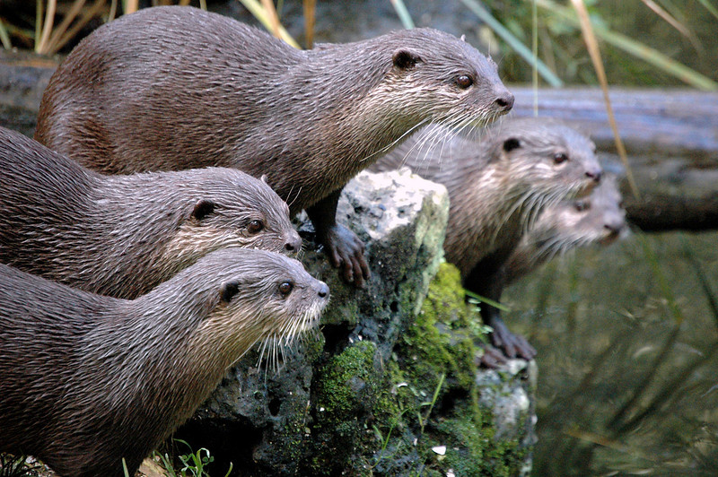Otters, Auckland Zoo