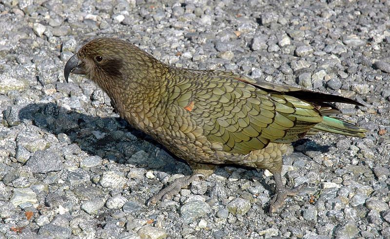 Kea, Beside Homer Tunnel on Road to Milford Sound