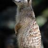 Meerkat, Auckland Zoo