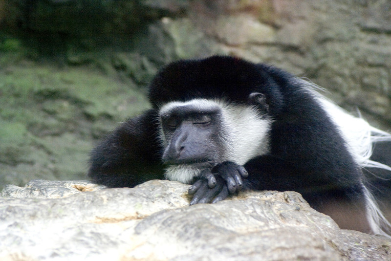 Monkey sleeping at the zoo