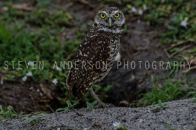 Burrowing Owl - Davie Florida