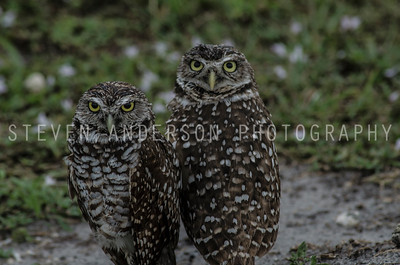 Burrowing Owls - Davie Florida