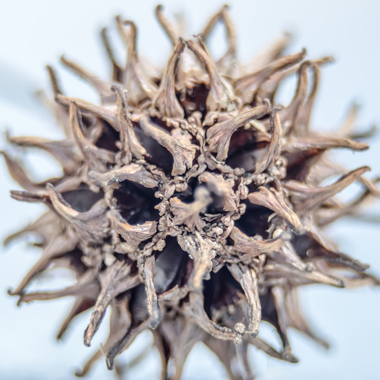The fruit of the sweetgum tree is a woody head of two-celled capsule