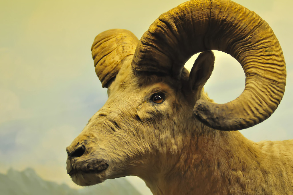 The portrait of a goat with big horns.