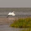 Little Egret Egretta garzetta small white heron