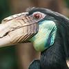 hornbill bird portrait closeup