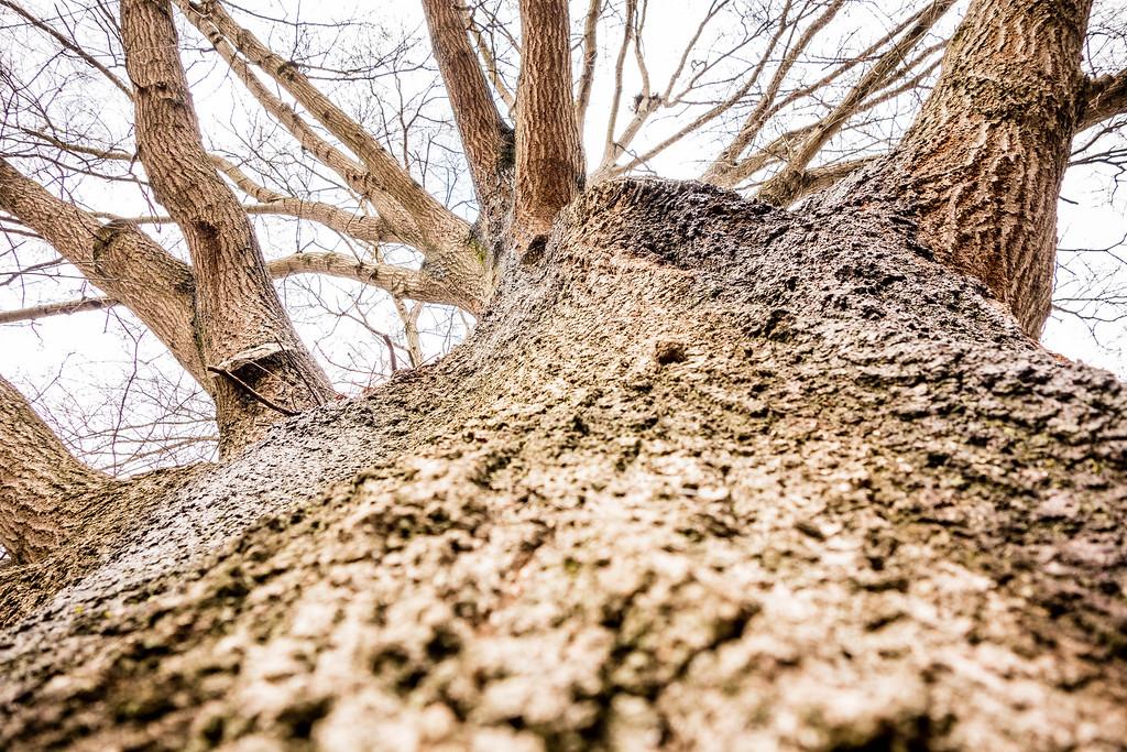 looking up a massive oak tree trunk