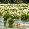spider water lilies in landsford state park south carolina