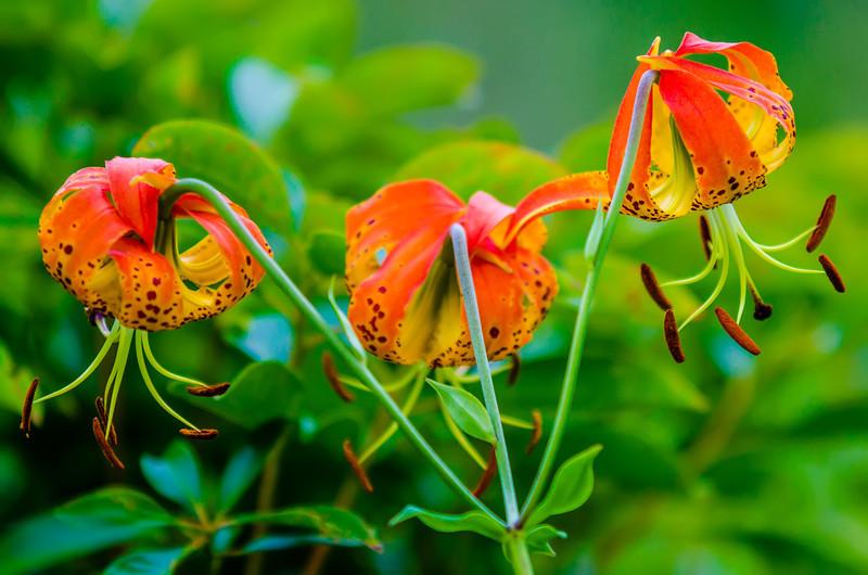 wild orange lilies
