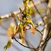 Maple foliage and winged fruit samara tree flowers